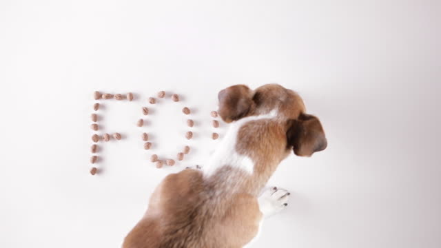 Conceptual idea dog Jack russell terrier eating word Food from the white floor made of dog's dry food. - video