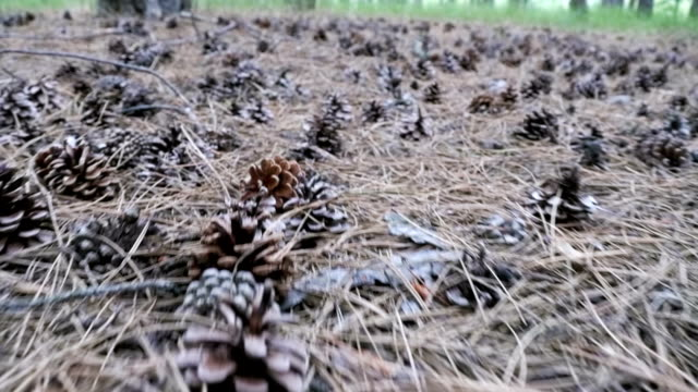 Cones in a Pine Forest. The Camera Moves Low over the Ground video