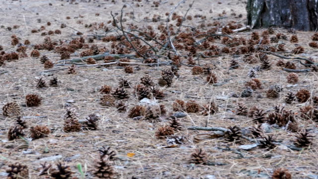 Cones in the Pine Forest video