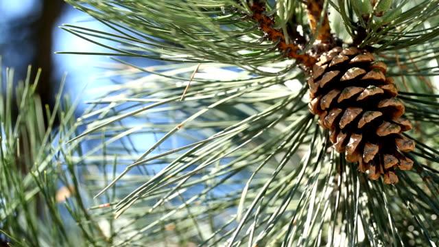 Cones of coniferous tree video