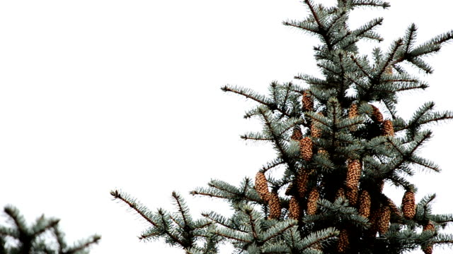 Cones on the top of the spruce video