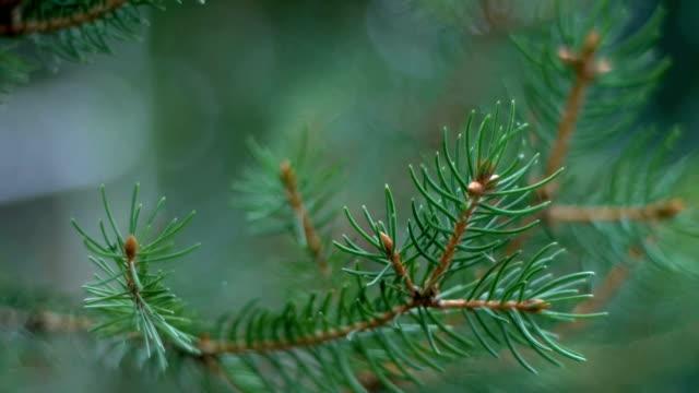 Conifer needles closeup video