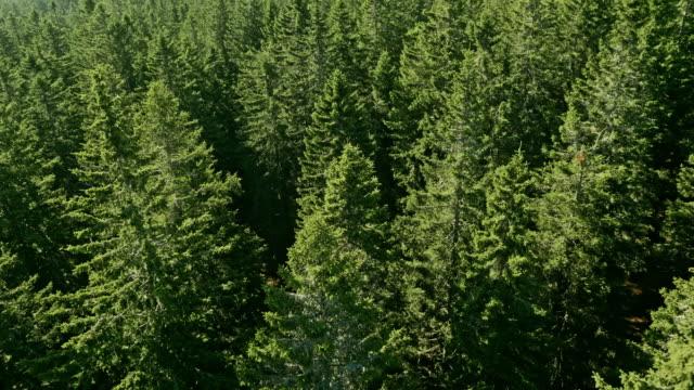 aerial nadelbäumen an einem sonnigen tag - kiefernwäldchen stock-videos und b-roll-filmmaterial