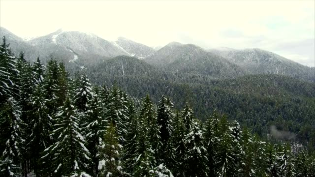 Coniferous forest in the mountains video