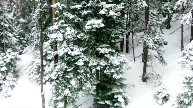 coniferous forest in the mountains - wood texture filmów i materiałów b-roll