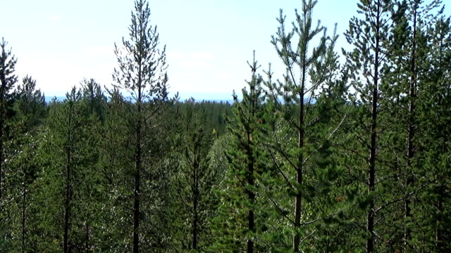 nadelwald bis zum horizont - kiefernwäldchen stock-videos und b-roll-filmmaterial