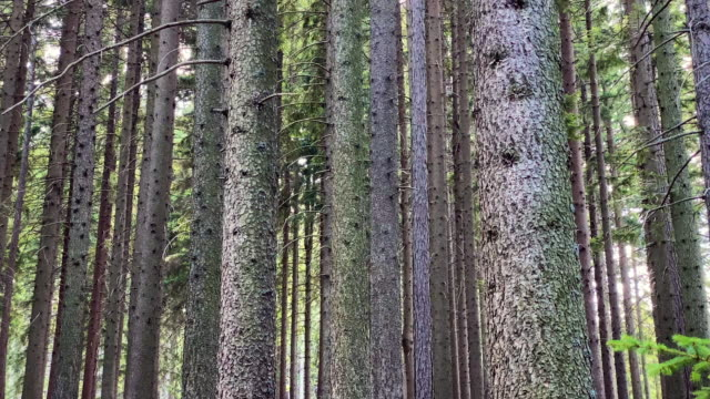 Coniferous Forest Video 4k with stabilization: coniferous forest with spruce trees pine tree stock videos & royalty-free footage