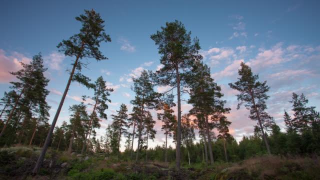 タイムラプス: coniferous 森林 - ローアングル点の映像素材/bロール