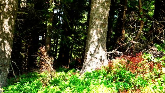 coniferous forest - kiefernwäldchen stock-videos und b-roll-filmmaterial