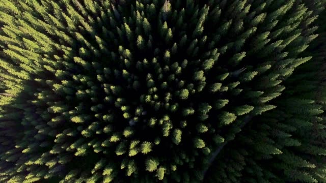 coniferous forest view from above - conifera video stock e b–roll