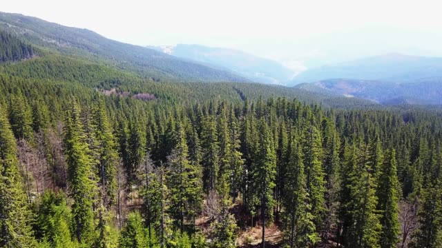 Coniferous forest view from above