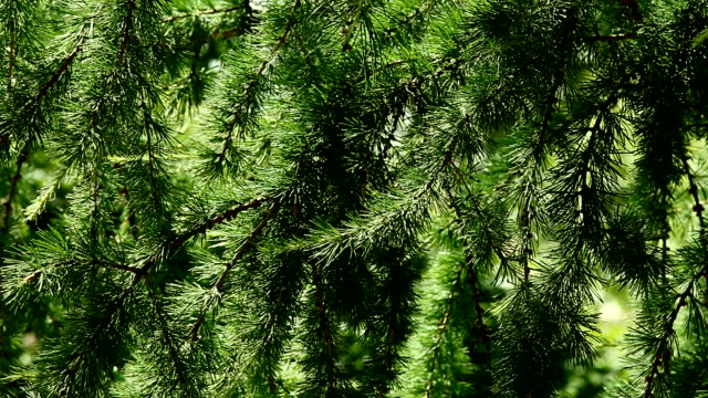 vídeos y material grabado en eventos de stock de alerce coniferous de - pino conífera