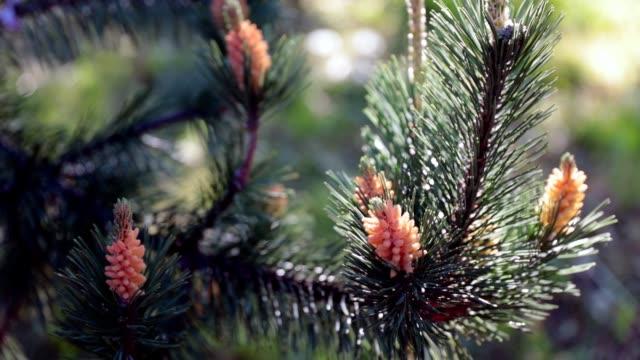 barrväxter - tall - hd - städsegrön växt bildbanksvideor och videomaterial från bakom kulisserna