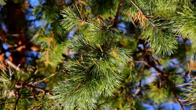 Coniferous spruce pine branch with pine needles video