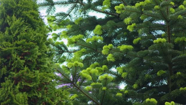 Coniferous Trees Scene video
