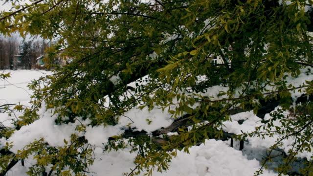 봄에서 눈 폭풍의 결과입니다. 녹색 단풍으로 부러진된 나무의 눈, 눈 덮인 나뭇가지, 눈 꽃, 눈, 기후 변화 덮여 - chuck lorre 스톡 비디오 및 b-롤 화면