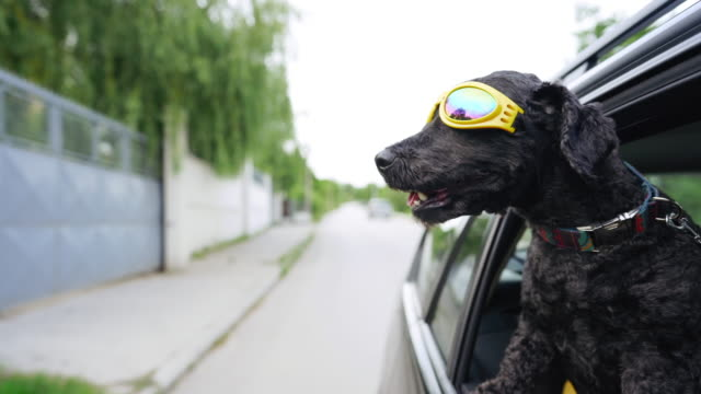 cool black dog with sunglasses enjoying ride - occhiali protettivi video stock e b–roll