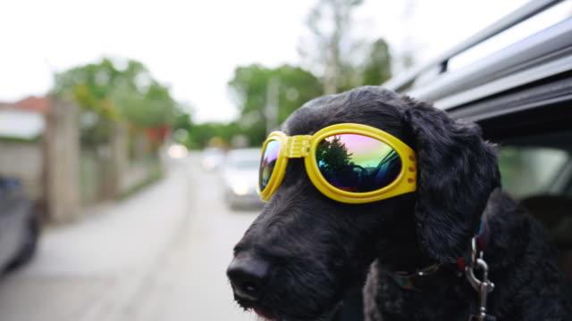 cooler schwarzer hund mit sonnenbrille genießt fahrt - sonnenbrille stock-videos und b-roll-filmmaterial