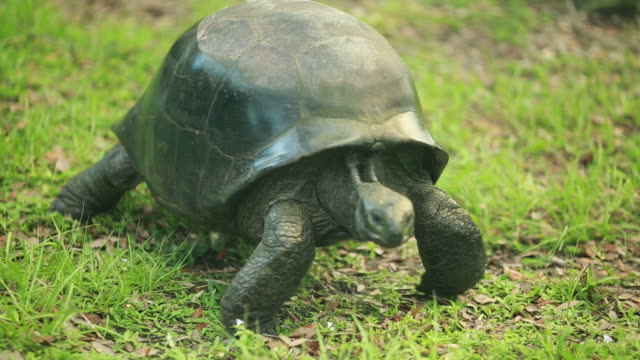 Cool close-up of a big turtle walking in the grass video
