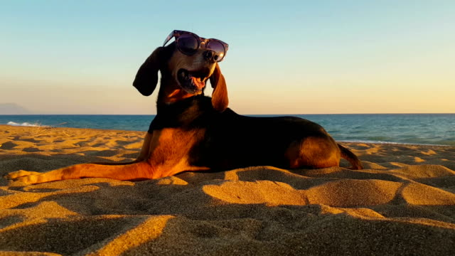 cool dog with sunglasses relaxing at the beach. - summer background стоковые видео и кадры b-roll