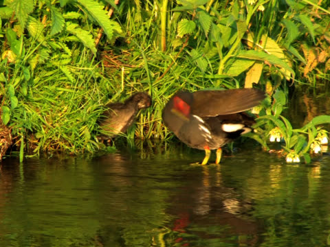 PAL: Coot  Family Other clips from this series: water bird stock videos & royalty-free footage