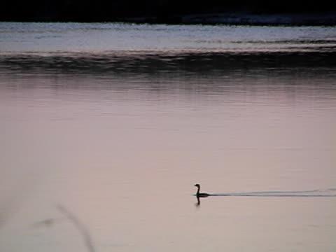 水のオオバン - 水鳥点の映像素材/bロール