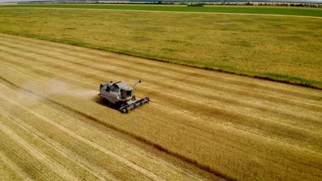 copter flies over gray combine that mows barley by cutting yellow spikelets on large agricultural land near green wheat field - orzo video stock e b–roll