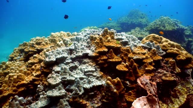 Coral Bleaching (Phylum Cnidaria) (Anthozoa) Environmental Damage due to Global Warming.  Ko Haa, Andaman Sea, Krabi, Thailand. video