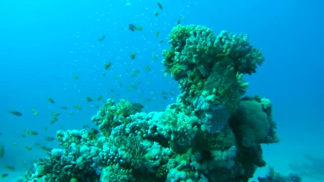 coral groper (cephalopholis miniata) on the coral reef, red sea, marsa alam, abu dabab, egypt - морской окунь стоковые видео и кадры b-roll