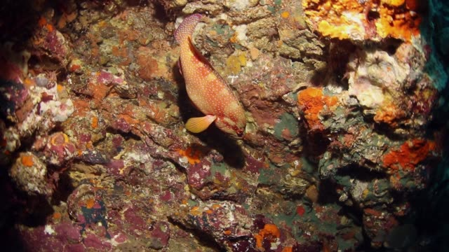 Coral grouper and cleaner shrimps at the sea bottom A coral grouper or plectropomus leopardus was visiting cleaner shrimps. Cleaner shrimps or Lysmata Amboinensis on rocks at the sea bottom. cleaner shrimp stock videos & royalty-free footage