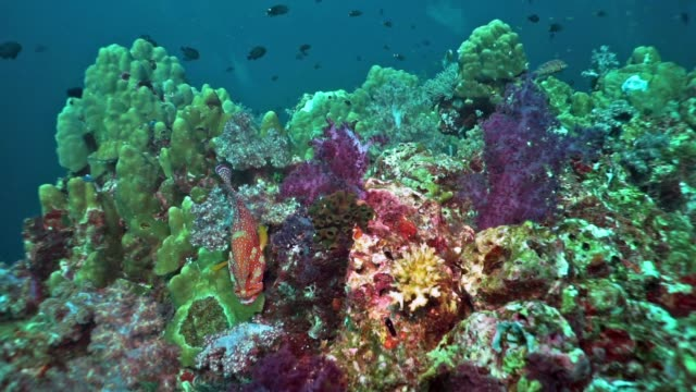 coral grouper (cephalopholis miniata) on vibrant coral reef, hin muang, thailand - морской окунь стоковые видео и кадры b-roll