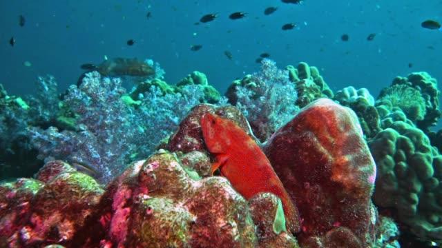 coral grouper (cephalopholis miniata) on vibrant coral reef - морской окунь стоковые видео и кадры b-roll