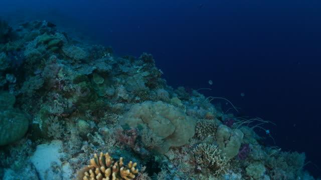 vídeos y material grabado en eventos de stock de coral en salientes de arrecife submarino - zona pelágica
