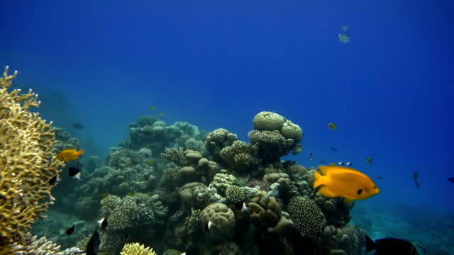 Coral reef and beautiful fish.  Underwater life in the ocean. video