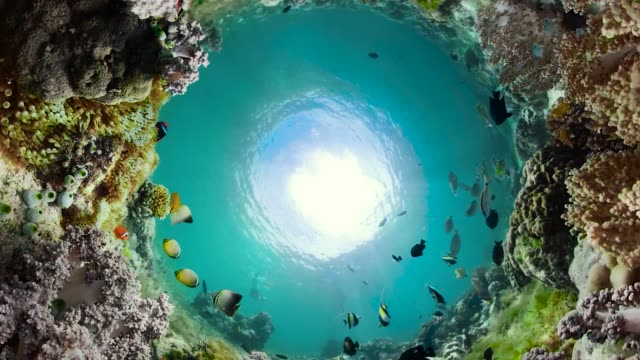Coral reef and tropical fish underwater. Camiguin, Philippines Tropical fishes and coral reef underwater. Hard and soft corals, underwater landscape. Travel vacation concept hard coral stock videos & royalty-free footage