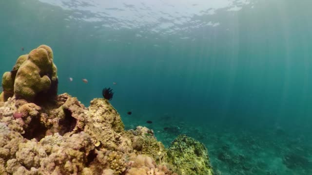 Coral reef and tropical fish coral reef and tropical fish underwater world diving and snorkeling on coral reef. Hard and soft corals underwater landscape hard coral stock videos & royalty-free footage