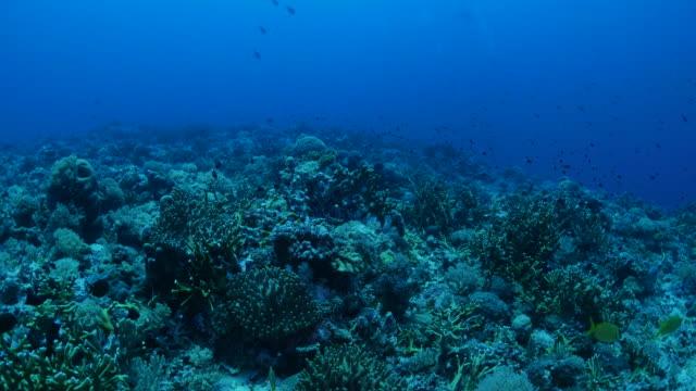 vídeos y material grabado en eventos de stock de arrecife de coral en el azul profundo del mar, palau - zona pelágica