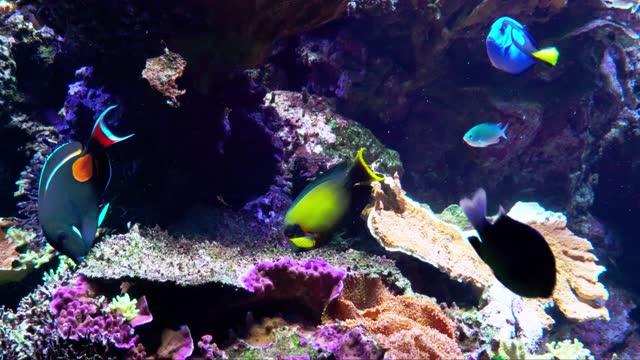 vídeos y material grabado en eventos de stock de arrecife de coral repleta de peces coloridos y vida como el tang de aquiles, anthias de lira y damiselas. vídeo 4k. - arrecife fenómeno natural
