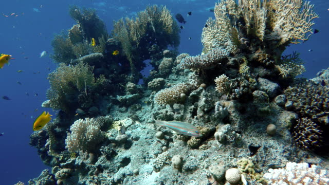 Coral reef, tropical fish. Warm ocean and clear water. Underwater world. Video shooting at a shallow depth. The corals and tropical fish. oceania stock videos & royalty-free footage