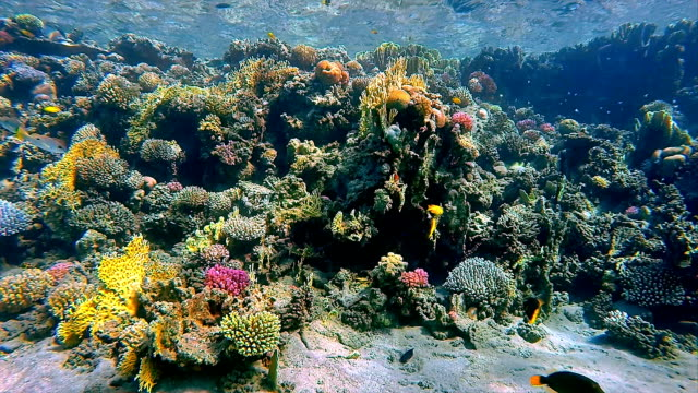 Coral reef with fisch sea life on Red Sea video