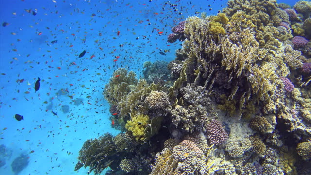 Coral reef with lot of colorful small fisch on Red Sea video