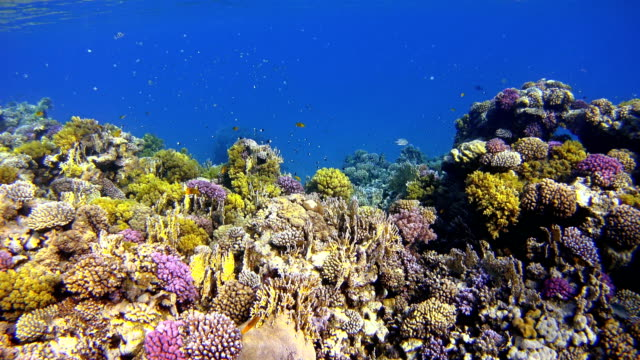 Coral reef with lot of tropical Fish in Egypt Beautiful Coral reef with Damselfish Red Sea / Egypt reef stock videos & royalty-free footage