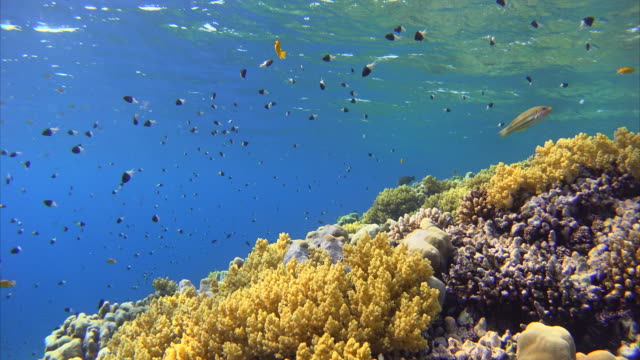 Coral reef with lots of colorful fishes at Red Sea video