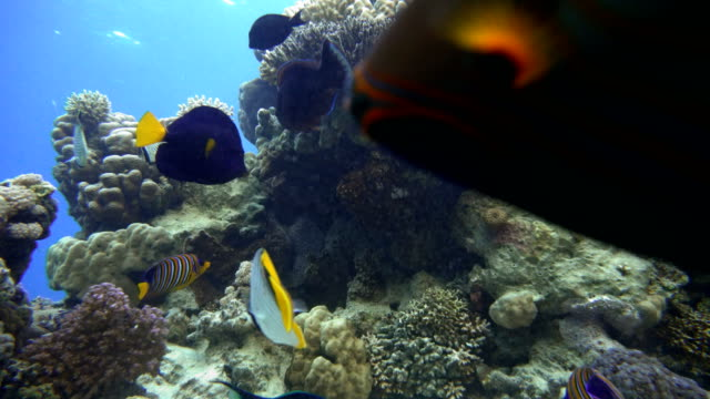 Coral reefs and tropical fish. Beautiful tropical fish and coral reef. video