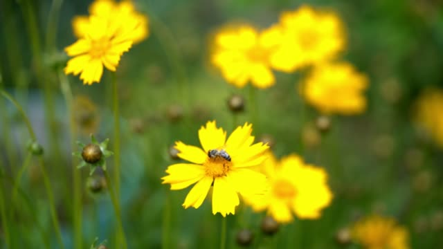 coreopsis flowers in a garden on a sunny day. - coreopsis lanceolata video stock e b–roll