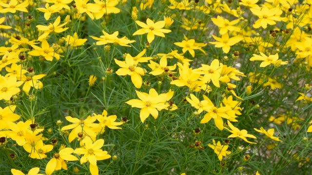 coreopsis verticillata is a north american species of tickseed sunflower also called whorled tickseed, whorled coreopsis, thread-leaved tickseed, thread leaf coreopsis, pot-of-gold. blowing in wind. - coreopsis lanceolata video stock e b–roll