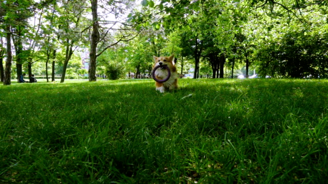corgi fluffy dog playing with ring toy funny welsh corgi fluffy dog playing with the rubber ring toy purebred dog stock videos & royalty-free footage