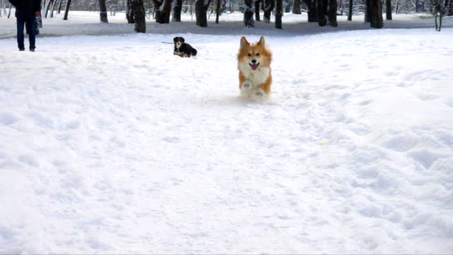 corgi fluffy running by the deep snow at the sunny winter day - łapa filmów i materiałów b-roll