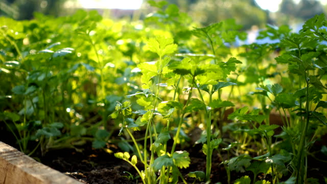 Coriander growth in a vegetable garden morning video