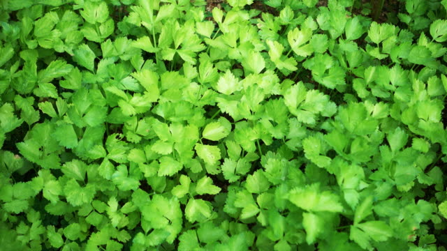 4K : Coriander vegetable in the plantation (Dolly shot) video